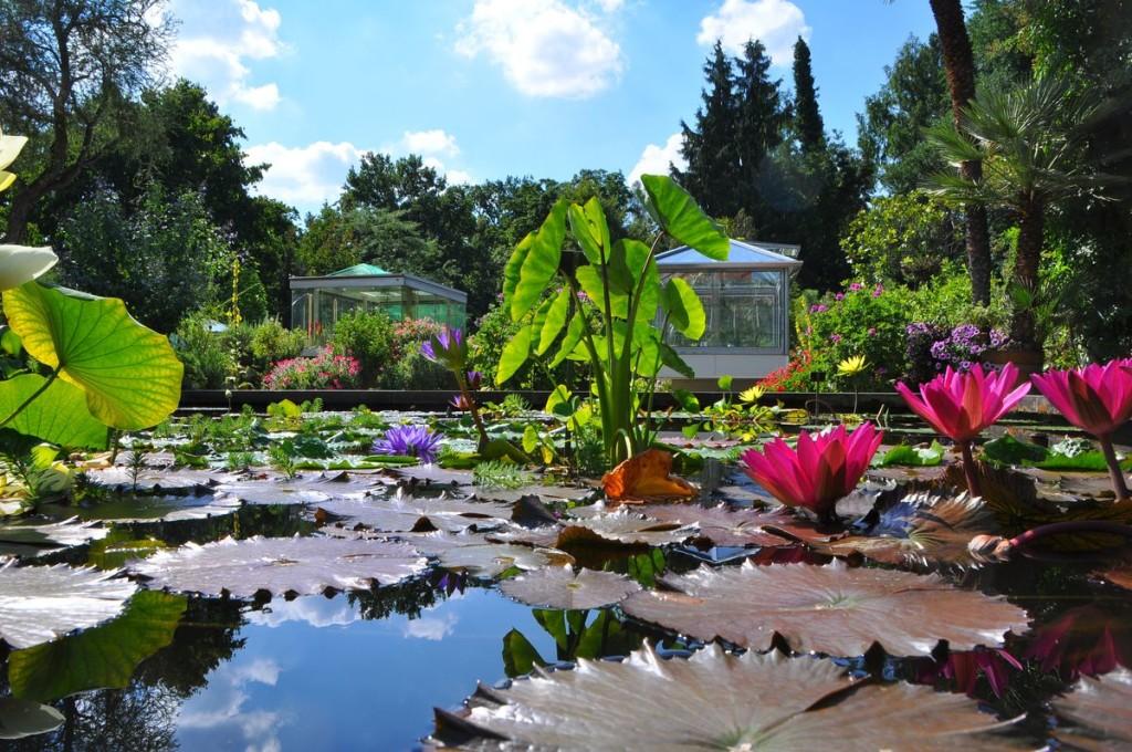 Seerosen im botanischen Garten in Erlangen