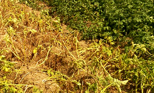 Grüne und gelbe/vertrocknete Kartoffelpflanzen nebeneinander auf dem Feld